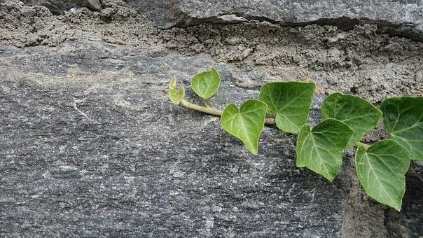 Stone Wall, Ivy, Hedera, Leaves, Climber, Grow, Cling