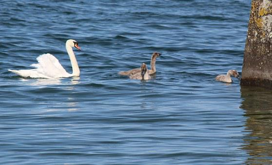Family, Swans, Mother, Young, Idyll, Harmonious, Cute