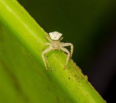 Spider, Crab Spider, Thomisus Spectabilis, White, Tiny