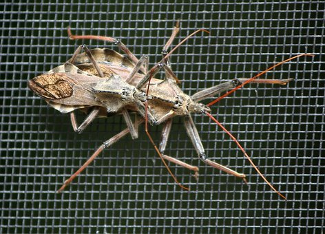 Wheel Bugs, Assassin Bug, Predator, Mate, Insect, Macro