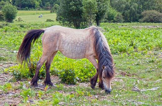 Horse, Pony, New Forest, New Forest Pony, Wild, Grazing