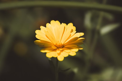Marigold, Calendula Officinalis, Flower, Yellow