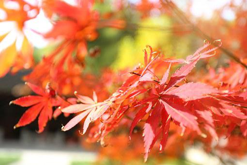 Maple, Autumn, Red, The Leaves, Background, Tree