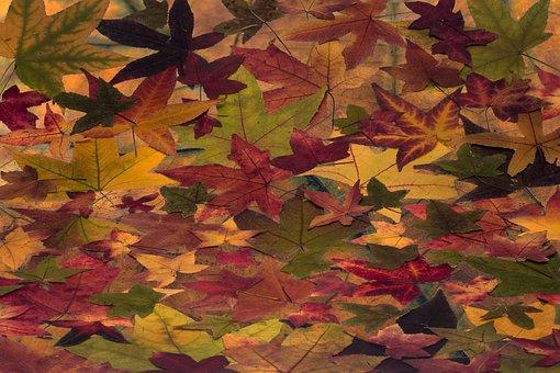 Leaves, Colorful, Amber Tree, Amber Tree Leaf