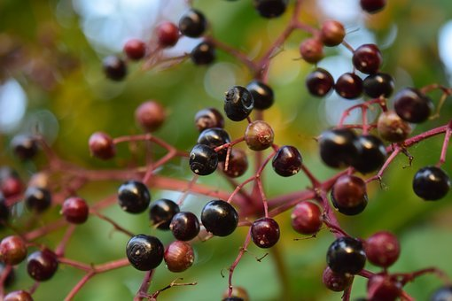 Elder, Holder, Holler, Holder Bush, Black Elderberry