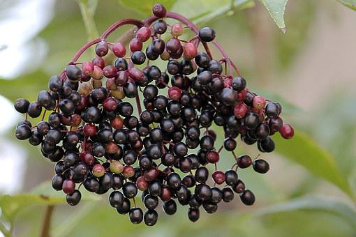 Elder, Elderberries, Black Elderberry, Berries