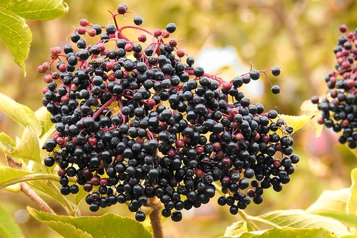 Elderberries, Elder, Black Elderberry, Bush