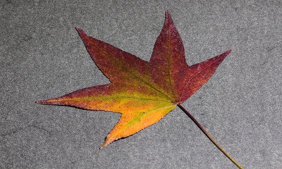 Leaf, Foliage Leaf, Amber Tree, Background, Fall Leaves