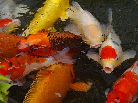 Aquarium Fish, Colored Carp, Koi, Fish, Breeding, Red