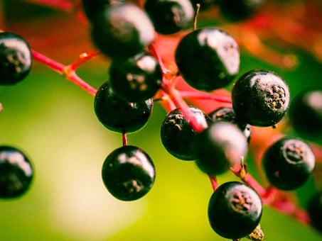 Berries, Elder, Black Elderberry, Holder Bush, Fruits