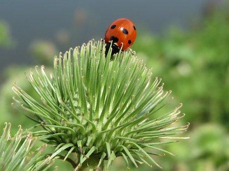 Arctium Lappa, Ladybug, Greater Burdock, Edible Burdock