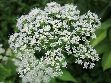 Aegopodium Podagraria, Ground Elder, Herb Gerard