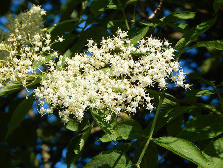 Elder, Elderberry Flower, Fragrance, Medicinal Plant