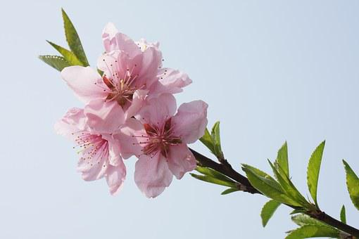 Peach Blossom, Pink, Primary, Spring, Pink Petals