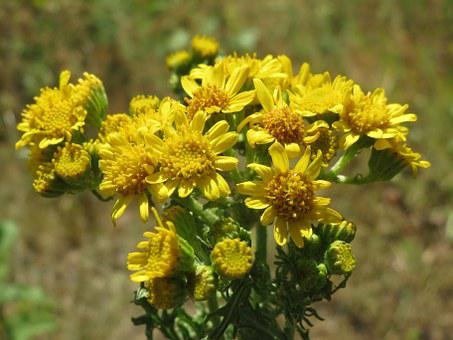 Jacobaea Vulgaris, Ragwort, Common Ragwort