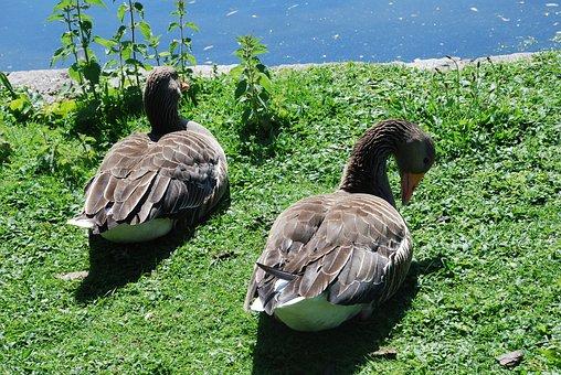 St James Park, London, Ducks, Parking, Water, River
