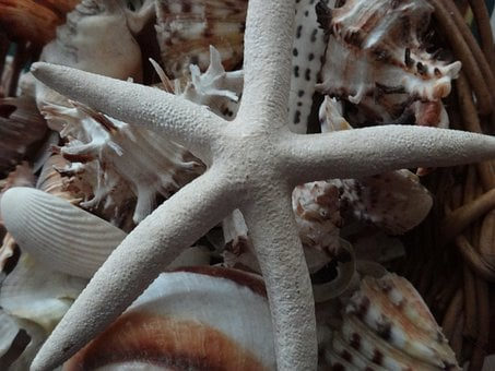 Starfish, Star Shell, Seashells, Shell, Marine