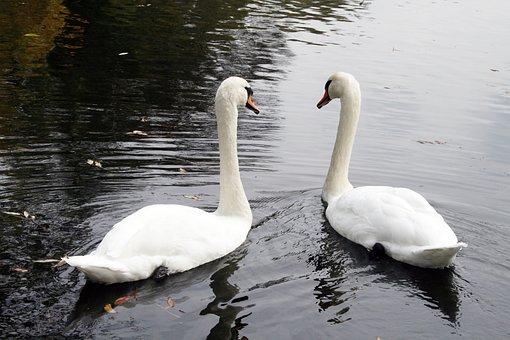Swan, Waterfowl, Lake, Bird, Nature, Landscape