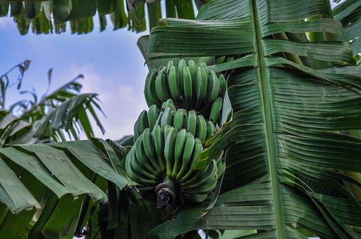 Bananas, Banana Shrub, Africa, Spain, Fruit, Shrub