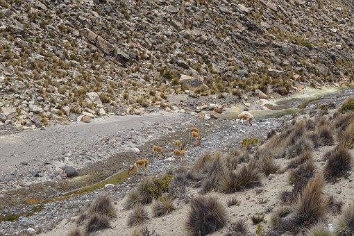 Vicuñas, Andes, Peru, Andean Animals, Dry River, Fauna