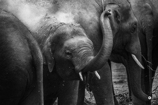 Animal, Close-up, Elephant Trunk, Elephants, Tusks