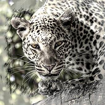 Leopard, Big Cat, Africa, Safari, Mammal, Wild Life