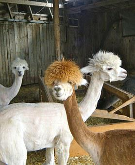 Llamas, Animals, Farm, Shed, Mammal, Alpaca, Lama, Cute