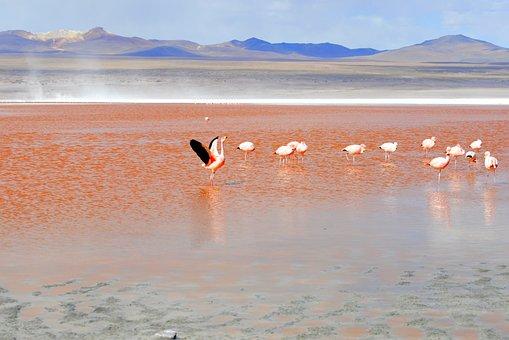 Flamingo, Red Lagoon, Bolivia, Lagoon, Travel, Andes