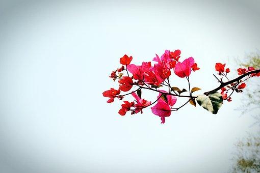 Bougainvillea, Flower, Xiamen, Spring, Pink Petals