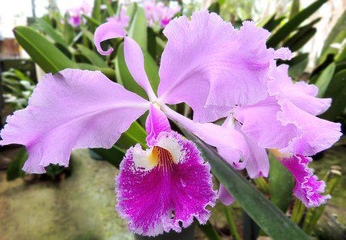 Orchid, Flower, Nature, Flowers, Plant, Orchid Flower