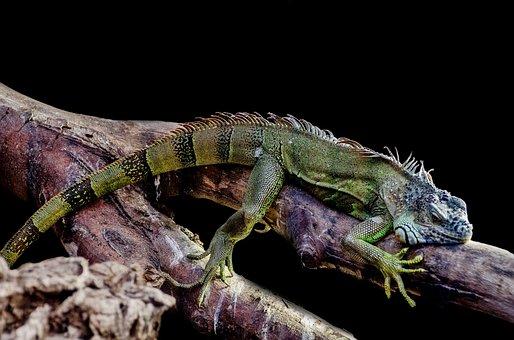 Iguana, Lizard, Outdoor, Close-up, Tree, Leisure
