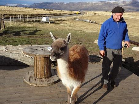 Argentina, Patagonia, El Calafate, Lama, Landscape