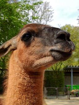 Lama, Animal, Alpaca, Mammal, Livestock, Zoo, Face