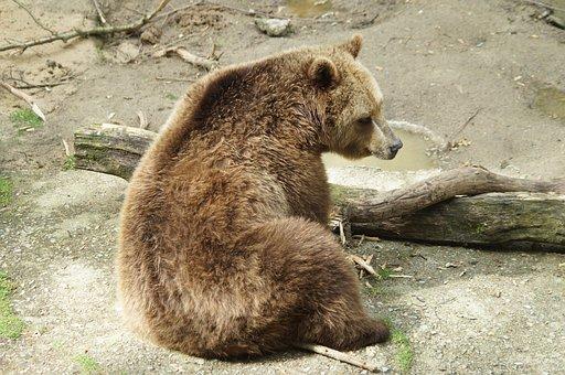 Brown Bear, Bear, Predator, Animal, Nature, Wild Animal