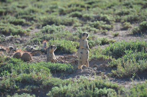 Prairie Dog, Prairie, Desert, Wildlife, Mammal, Nature