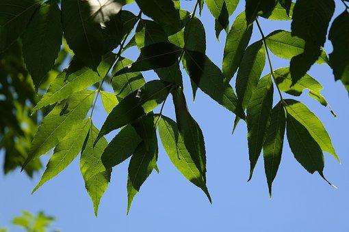 Leaves, Green, Tree, Ash, Common Ash, Ordinary Ash