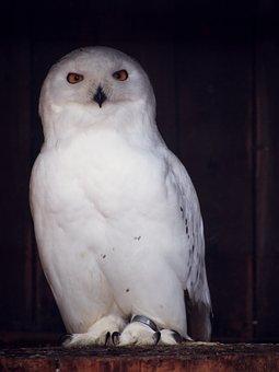Owl, Snowy Owl, Nocturnal, Bird, Animal, Enclosure