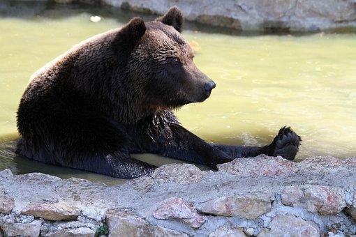 Bear, Predator, Animal, Brown Bear, Mammal, Wild Animal