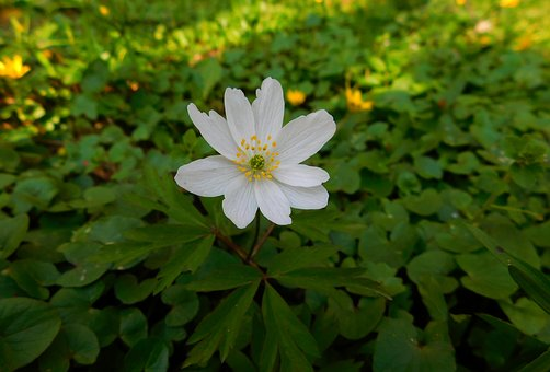 Wood Anemone, Pollen, Small Flower, Fashion Flower