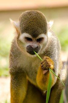 Monkey, Amazon, Squirrel, Rainforest, Tree, Snout