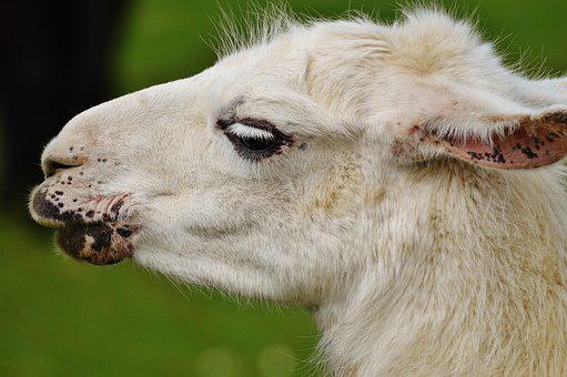 Lama, White, Animal, Cute