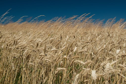 Field, Wheat, The Sky, Ears, Wind