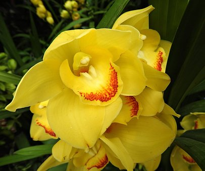 Cymbidium, Orchid, Flower, Yellow