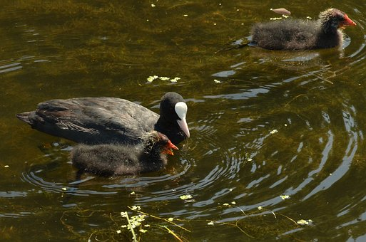 Coot, Bird, Waterfowl, Young, Feed, Parents, Water