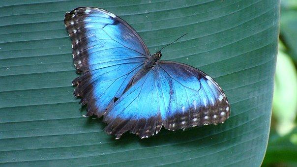 Butterfly, Morpho, Wings, Blue Butterfly