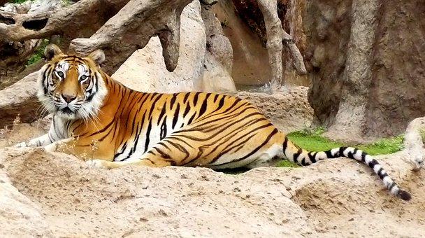 Bengal, Captivity, Hybrid, Loro Parque, Siberian