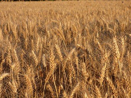 Cereals, Durum Wheat, Field, Culture