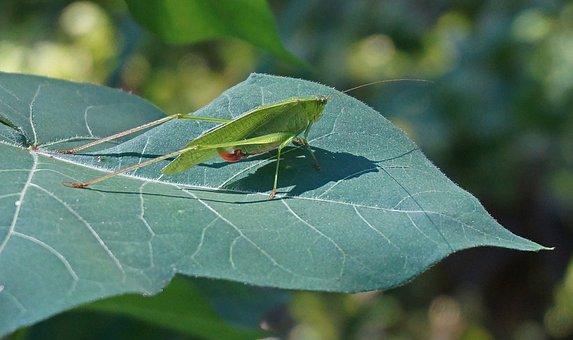 Grasshopper On Cotton, Grasshopper, Insect, Animal