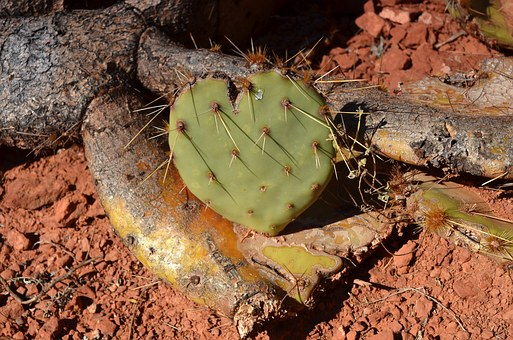 Cactus, Heart, Heart Shaped, Spur, Love