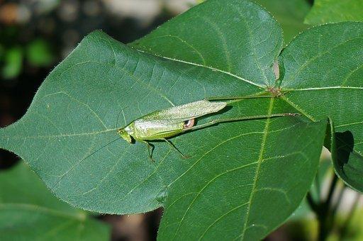 Sunbathing Grasshopper On Cotton, Grasshopper, Insect